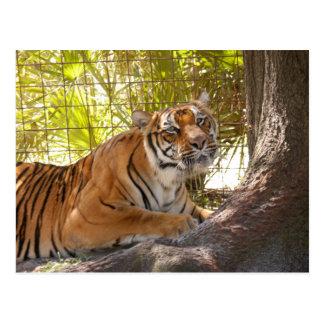 Tiger Bengali 003 Postcard