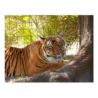 Tiger Bengali 004 Postcard