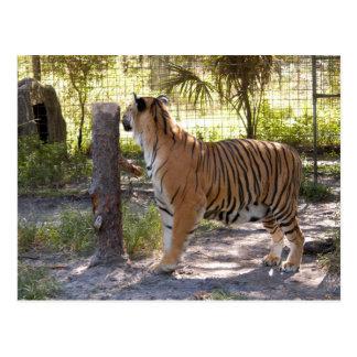 Tiger Bengali 007 Postcard