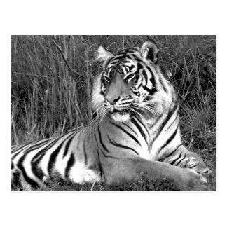 Tiger - Black & White Postcard