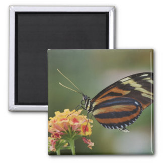 Tiger butterfly, Heliconius ismenius 2 Inch Square Magnet