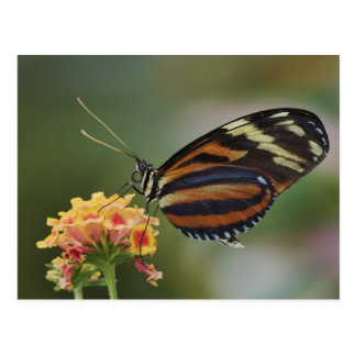 Tiger butterfly, Heliconius ismenius Postcard