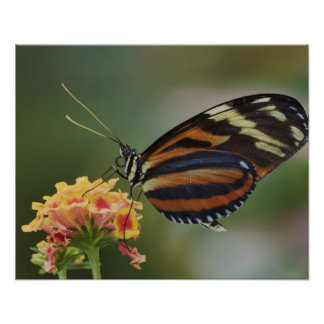 Tiger butterfly, Heliconius ismenius Poster