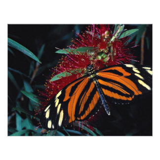Tiger butterfly on bottle brush flower flyer