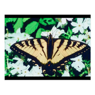 Tiger Butterfly Postcard