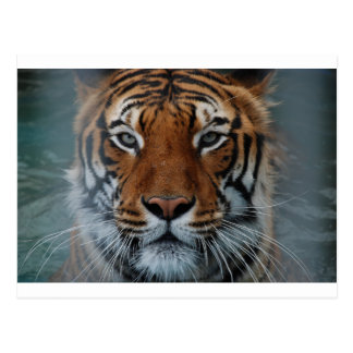 Tiger Cat Stripes Jungle Mist Animal Postcard