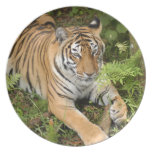 Tiger-China-Doll-b-22 Party Plate