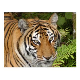 Tiger-China-Doll-b-25 Postcard