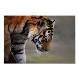 Tiger Climbing Down Poster