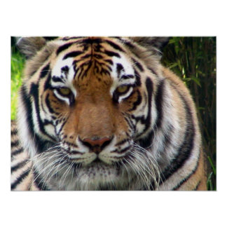 Tiger - Close up and personal Print