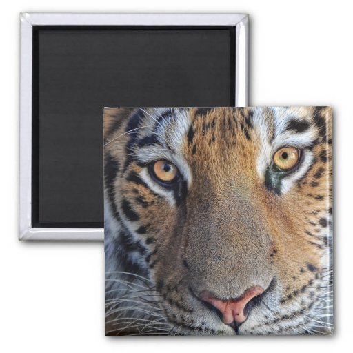 Tiger Close Up Magnet