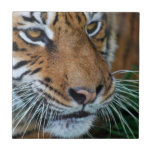 Tiger close up small square tile