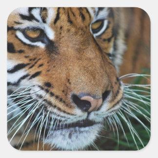 Tiger close up square sticker