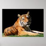 Tiger Closeup Poster