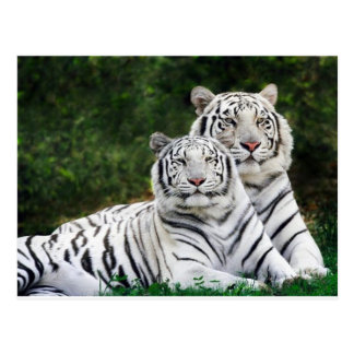 tiger couple postcard