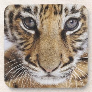 Tiger Cub (2 Month Old) Beverage Coaster