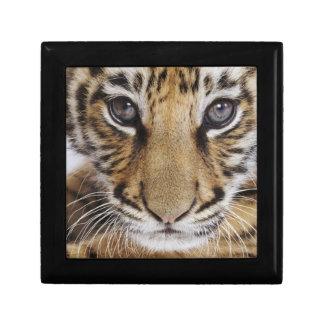 Tiger Cub (2 Month Old) Jewelry Box