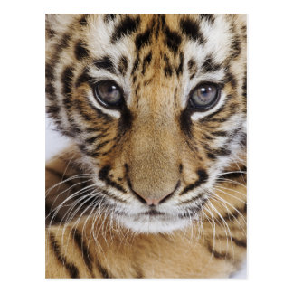 Tiger Cub (2 Month Old) Postcard