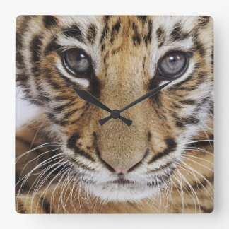 Tiger Cub (2 Month Old) Square Wall Clock