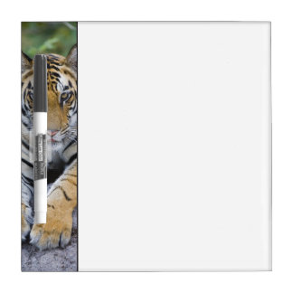 Tiger cub, Bandhavgarh National Park, India Dry-Erase Board