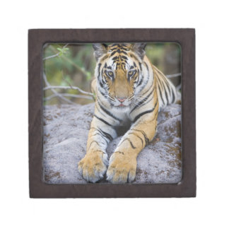 Tiger cub, Bandhavgarh National Park, India Gift Box