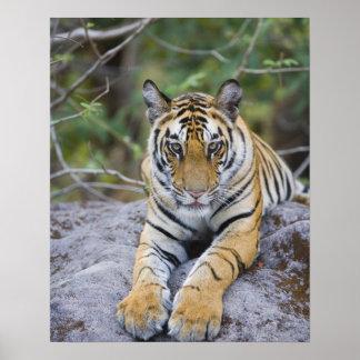 Tiger cub, Bandhavgarh National Park, India Poster