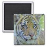 Tiger Cub Close Up Portrait 2 Inch Square Magnet