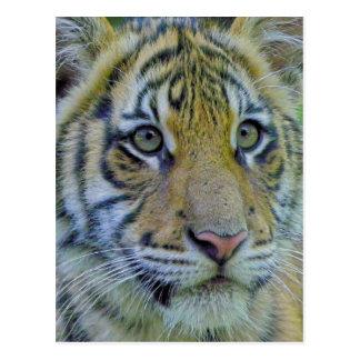 Tiger Cub Close Up Portrait Post Card