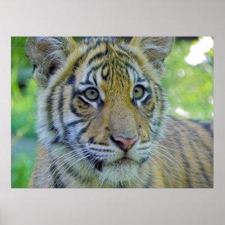 Tiger Cub Close Up Portrait Poster