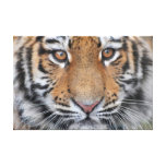 Tiger cub face gallery wrapped canvas