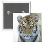 Tiger Cub In Snow Close Up Portrait 2 Inch Square Button