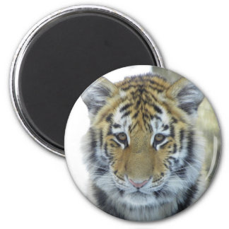 Tiger Cub In Snow Close Up Portrait Magnet