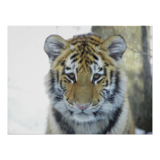 Tiger Cub In Snow Close Up Portrait Poster