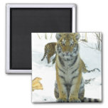 Tiger Cub In Snow Portrait 2 Inch Square Magnet