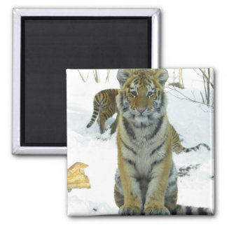 Tiger Cub In Snow Portrait Refrigerator Magnets