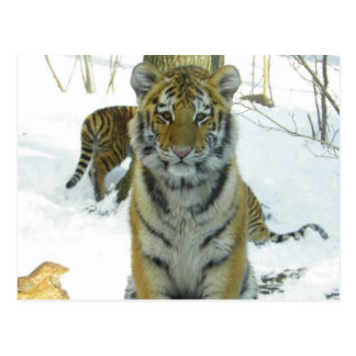 Tiger Cub In Snow Portrait Postcard