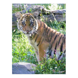 Tiger Cub Portrait 2 Postcard
