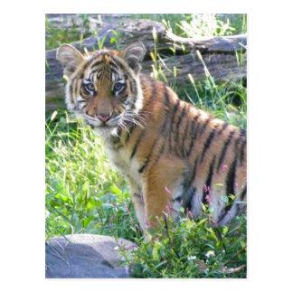 Tiger Cub Portrait 2 Post Card