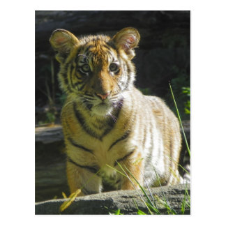 Tiger Cub Portrait 4 Postcard
