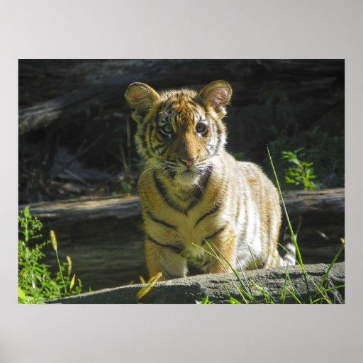 Tiger Cub Portrait 4 Print