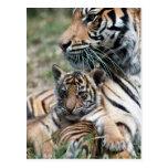 Tiger cub postcard