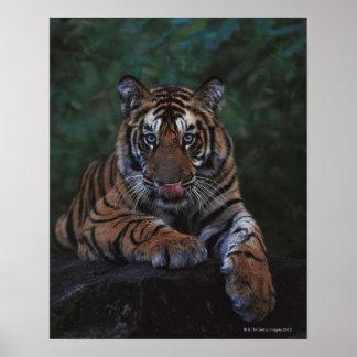 Tiger Cub Reclines on Rock Poster