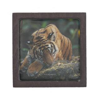 Tiger Cub Sleeps on Rock Keepsake Box