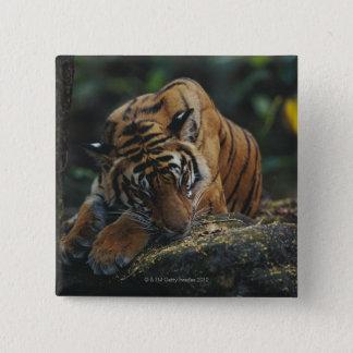 Tiger Cub Sleeps on Rock Pinback Button