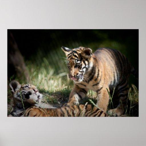 Tiger cubs posters