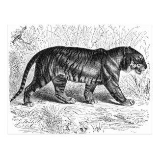 Tiger Drawing Postcard