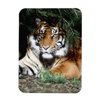 Tiger Enjoying Shade Magnet