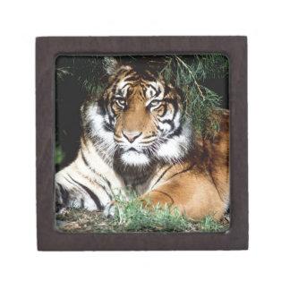 Tiger Enjoying Shade Premium Gift Box