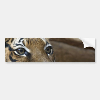 Tiger Eyes Bumper Stickers