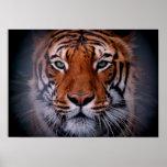 Tiger Face Eyes Stunning Big Cat A3 Poster